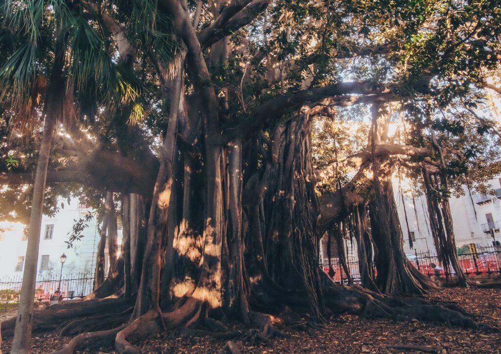 Large ficus tree Palermo